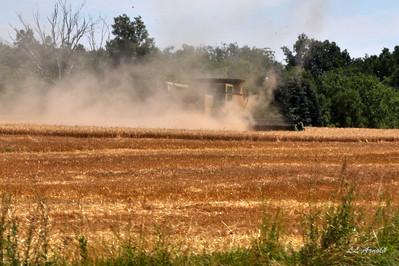 Wheat harvest time already