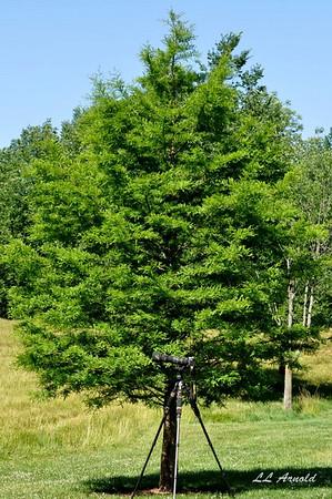 A bald cypress tree