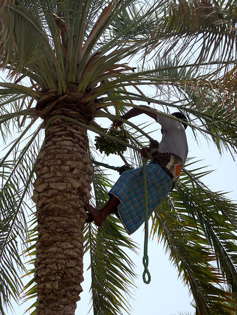 date palm tree worker