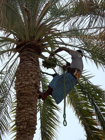 date palm tree worker