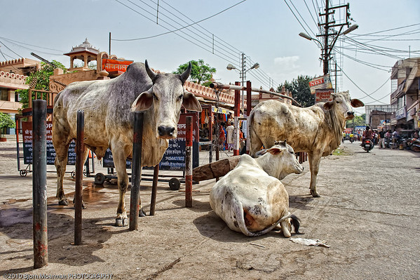 Cows in Mathura street