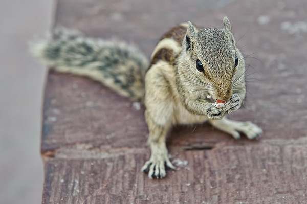 Squirrel at Red Fort-Agra Fort