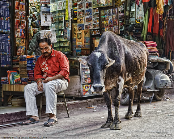 Shopkeeper not so happy with the Holly cow at Main Bazaar, Delhi