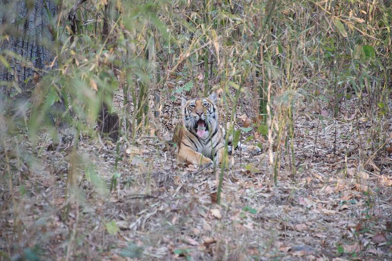 male tiger cub
