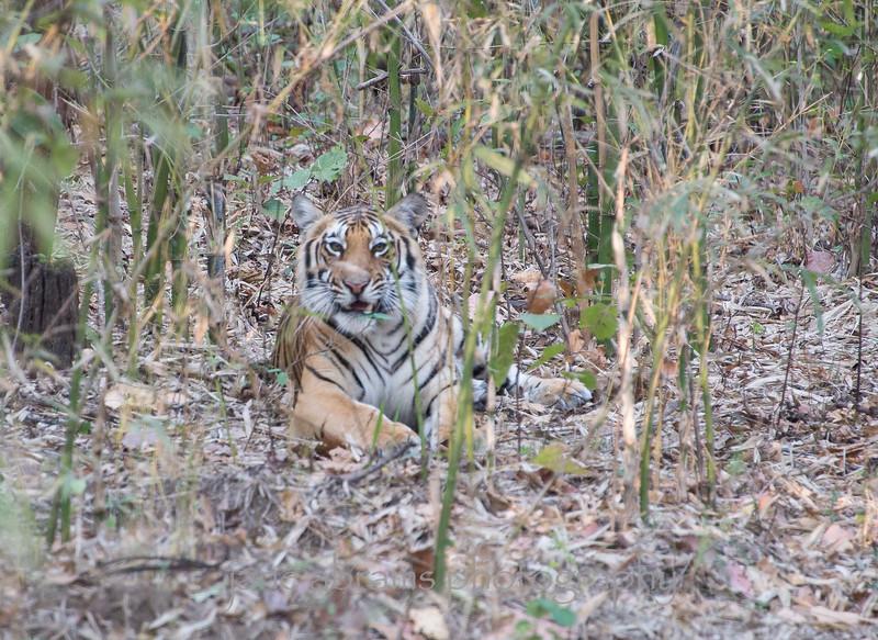 tiger male cub