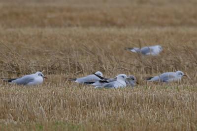 Black-headed Gulls IMG_8817