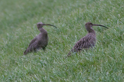 Curlew  IMG_8768