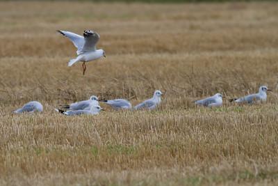 Black-headed Gulls IMG_8813