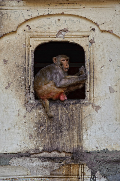Monkey at Galta Temple