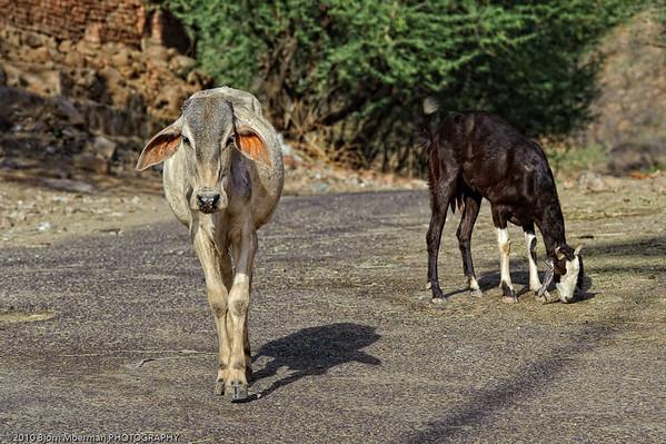 Cows at Galta