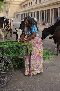 Feeding the cows in Jaipur