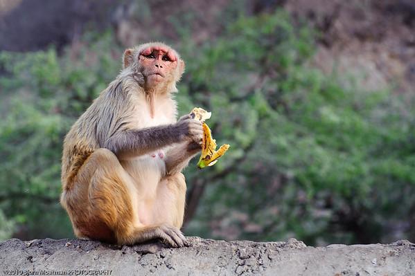 Monkey at Galta Temple