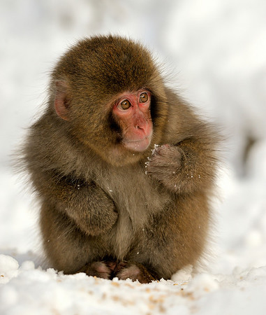 Macaque baby monkey, Jigokudani Yaen-kown, Monkey Park, Nagano Prefecture, Japan