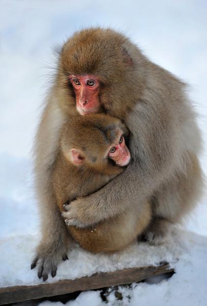 Macaque monkey and baby, Jigokudani Yaen-kown, Monkey Park, Nagano Prefecture, Japan