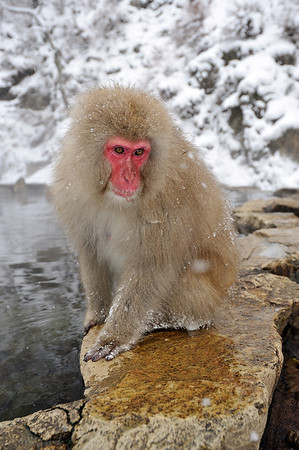 Macaque monkeys, Jigokudani Yaen-kown, Monkey Park, Nagano Prefecture, Japan
