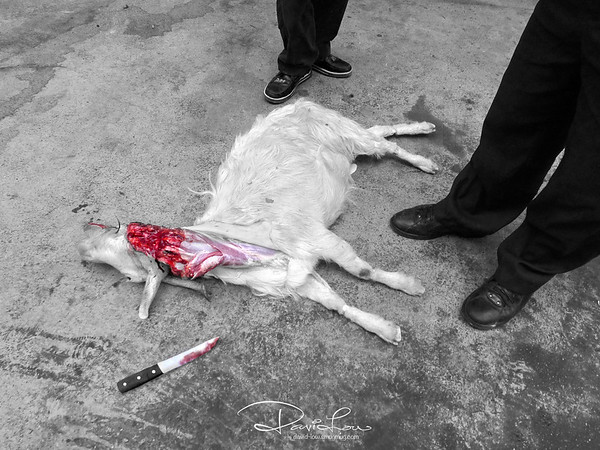 A killed goat along a back lane ear marked for the dinner table.