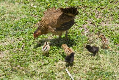 Kauai Chickens IMG_2207