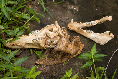 Wild Hog Skull IMG_2409