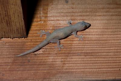 Gecko IMG_2336 rev 1