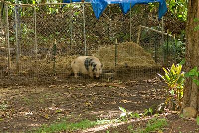 Kauai Hog IMG_2236