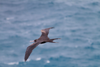 Great Frigatebird IMG_0540