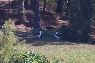 Laysan Albatross IMG_0869 rev 1