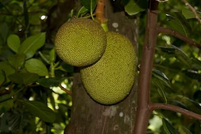 Jack fruit IMG_2424