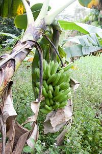Banana IMG_2429