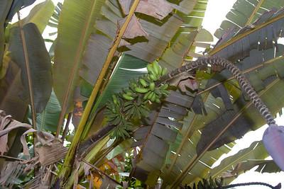 Banana IMG_2426