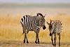 A zebra with a juvenile zebra strolling on the Maasai Mara.