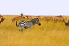 A scenic of a Zebra with Topi in it's background on the Maasai Marra Kenya.