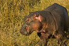 Baby Hippo out of water away from adults along the river brush in  the Maasai Mara Kenya.