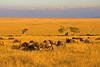 A heard of Wildebeest in the Maasai Mara Kenya