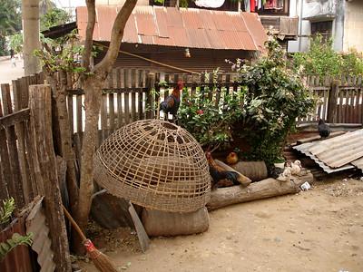 chickens, Luang Prabang