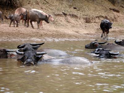 water buffalos.......