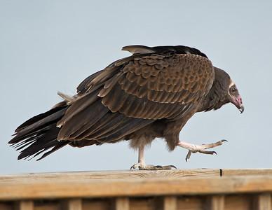Turkey Vulture Conneaut Harbor, Ohio