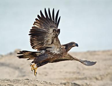 Juvenile Bald Eagle Conneaut Harbor, Ohio