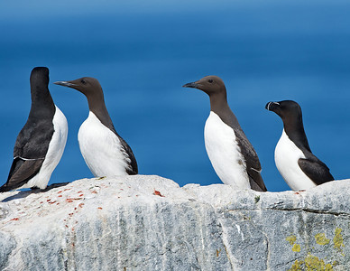 2 Common Murres in the center