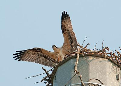 Juvenile Osprey near Reynolds Plantation Atlanta Georgia