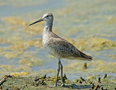 Short-billed Dowitcher at Lorain Impoundment