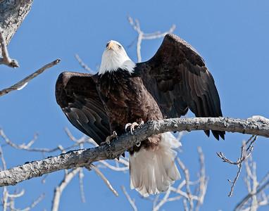 Bald Eagle at Magee Marsh, Ohio