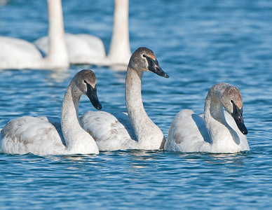 Juvenile Trumpeter Swans