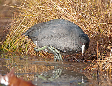 American Coot at North Chagrin Reservation