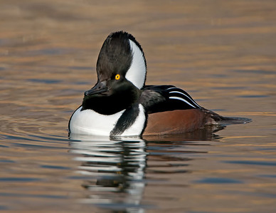 Hooded Merganser at North Chagrin Reservation