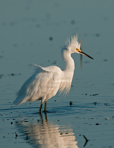 Snowy Egret Pipe Creek Wildlife Area
