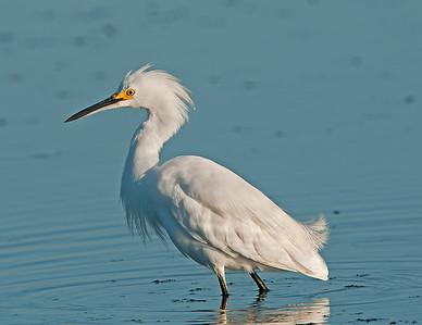Snowy Egret Pipe Creek Wildlife Area