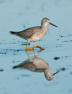 Lesser Yellowlegs Pipe Creek Wildlife Area