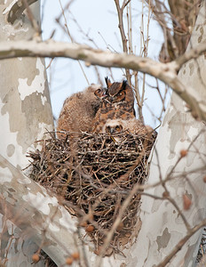 Great Horned Owls Rocky River Reservation