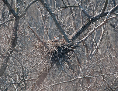 Eagle nest in Rocky River Reservation