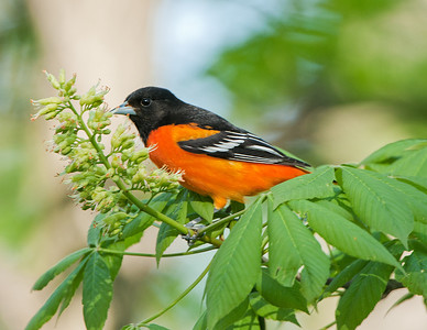 Baltimore Oriole Rocky River Reservation